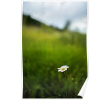 Mountain daisy flower  Poster