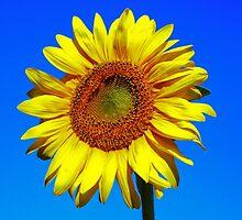 Sunflower by James  Key