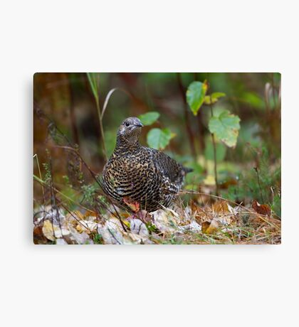Spruce grouse in Algonquin Park Canvas Print
