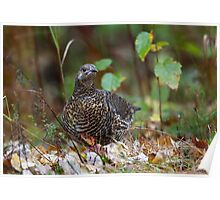 Spruce grouse in Algonquin Park Poster