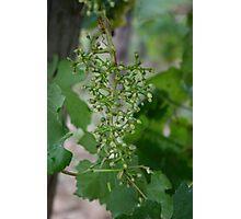 Vine #5 Photographic Print