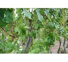 Vine #6 Photographic Print