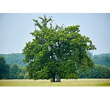 Big old oak tree on a meadow Photographic Print