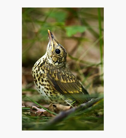Baby song thrush on forest floor Photographic Print