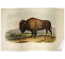 James Audubon - Quadrupeds of North America V2 1851-1854  American Bison or Buffalo 1 Poster