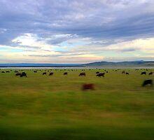 Grazing Cows by dandouna321