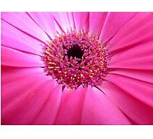 Essence of Pinkness - Pink Gerbera Closeup Photographic Print