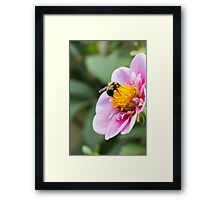 Baby Bumble Bee  Framed Print