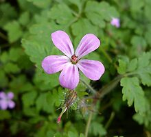 Pink Wildflower - Herb Robert by Louise Parton