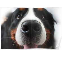 Bernese Mountain Dog Poster