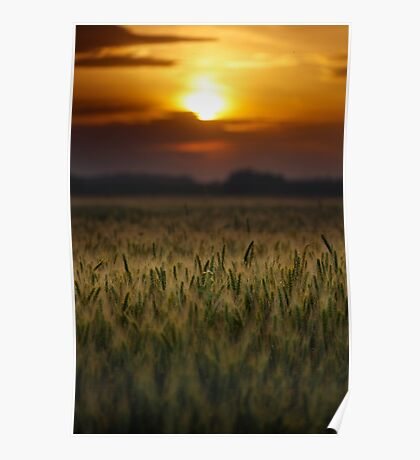 Wheat field at sunset, sun in the frame Poster