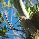 Cooper's Hawk by Karen Checca