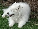 White Samoyed Dog by lynn carter