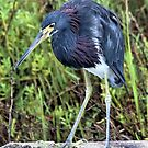 Tri-Colored Heron by SuddenJim