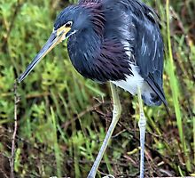 Tri-Colored Heron by SuddenJim