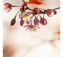 Cherry Blossom Photographic Print