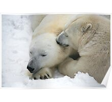 two funny polar bears groom each other Poster
