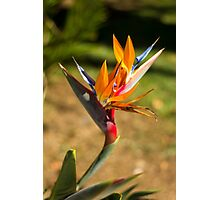 Birds of Paradise/Heliconia - Nature Photography Photographic Print