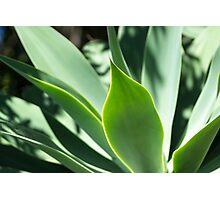 Succulent Aloes - Nature Photography Photographic Print