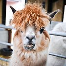 Alpaca by Mike Higgins