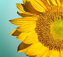 sun flowers  by motiashkar