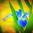 Blue flag by ♥⊱ B. Randi Bailey
