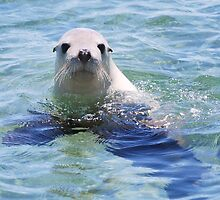 Australian Sea Lion by Ian Berry