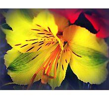 Alstroemeria  - Peruvian Lily Photographic Print