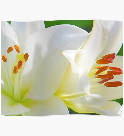 White Lilies (Digital Art) Poster