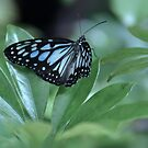 Scarce Blue Tiger butterfly..... by Poete100