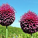 Drumsticks - Allium Sphaerocephalon by Barrie Woodward