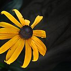 Black-eye Susan by cclaude
