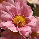 Pink Chrysanthemum by AnnDixon