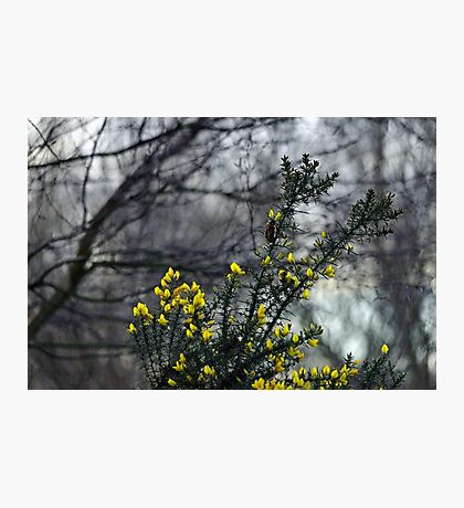 Common Gorse in the Woodland Photographic Print