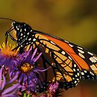 Monarch on New England Aster #1  by Kane Slater