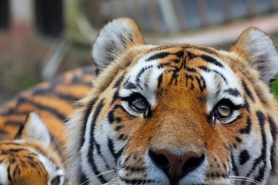 Tiger Playing Hide & Seek by sanham
