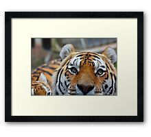 Tiger Playing Hide & Seek Framed Print