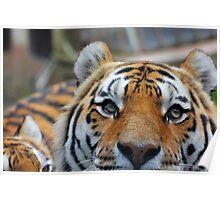 Tiger Playing Hide & Seek Poster