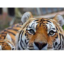 Tiger Playing Hide & Seek Photographic Print