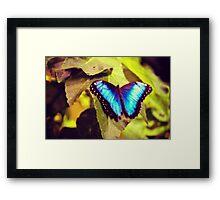 Peleides Blue Morpho Framed Print