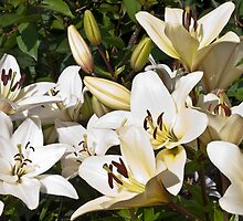 White Lilies In The Garden by Sandra Foster