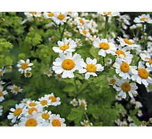 Humble Daisy Photographic Print