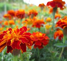 Red Marigolds by alfalfascout