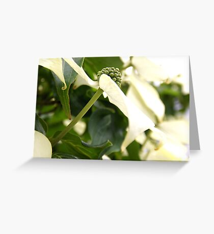 Kousa Dogwood in Bloom Greeting Card