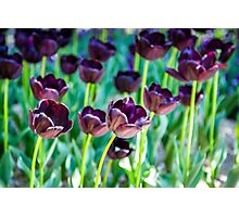 Black Tulips Photographic Print