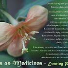 Herbs as Medicines:  Evening Primrose by cdwork