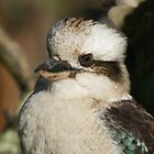 Kookaburra#4 by johnrf