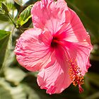 823 Hibiscus by pcfyi
