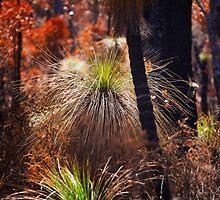 Grass Trees after a Fire by Alex Fricke