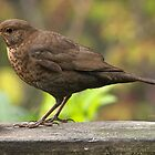 Lady Blackbird........! by Roy  Massicks